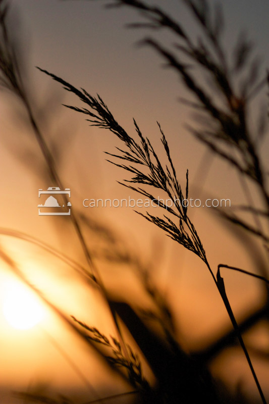A Stalk of Dune Grass in the Evening Light