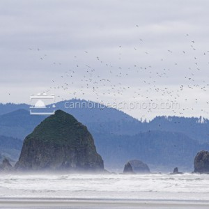 Murre Flight Over Haystack Rock