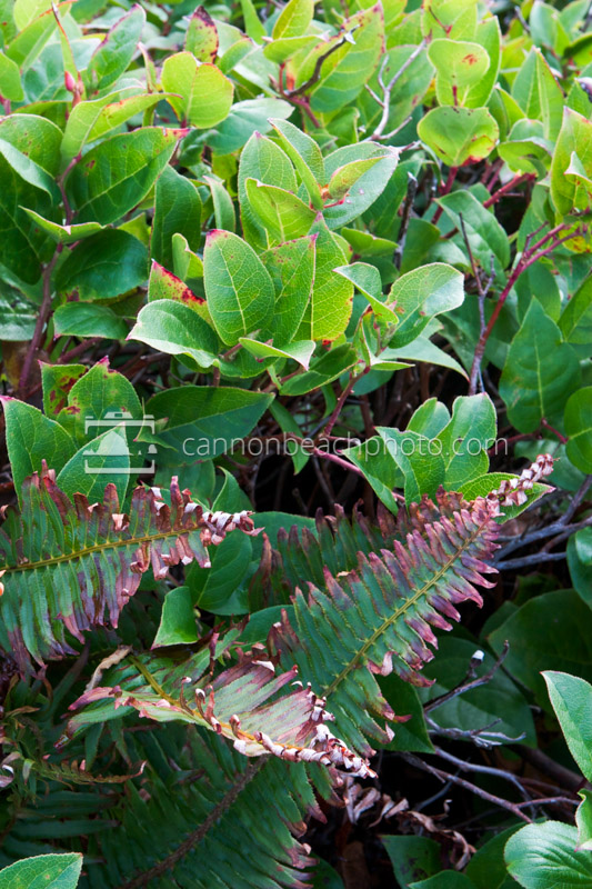 Salal and Ferns