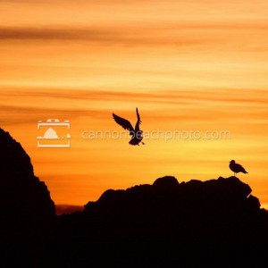 Seagull Landing at Sunset