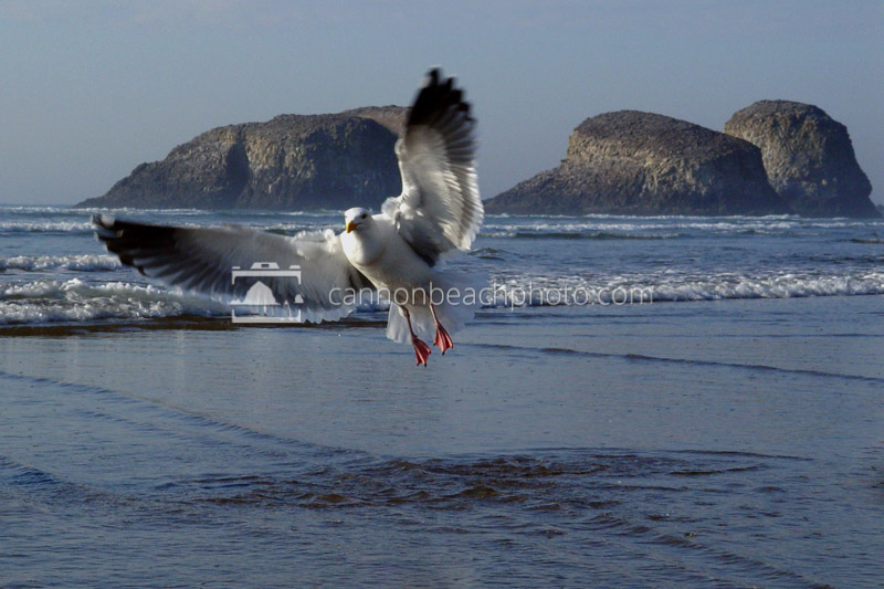 Seagull Taking Flight