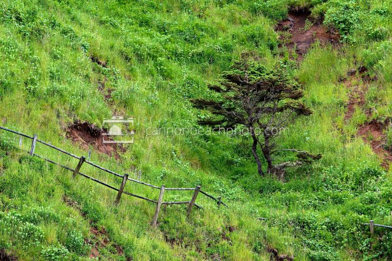 Windblown Tree Below Ecola Point