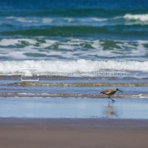 Sandpiper on the Shore
