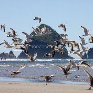 Seagull Flight and Haystack Rock