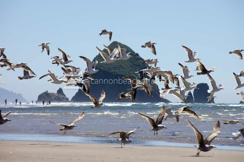 Seagull Flight and Haystack Rock