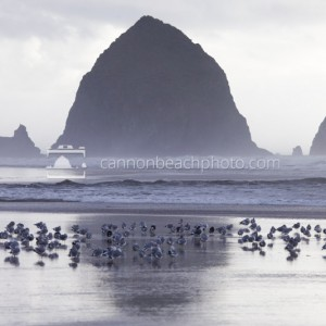 Seagulls and Haystack Rock Reflection