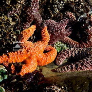 Oregon Coast Starfish, Seastar Tidepool