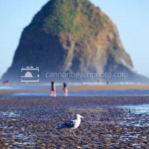 Seagull and Haystack Rock, Summer Time
