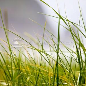 Dune Grass Macro with Haystack Rock