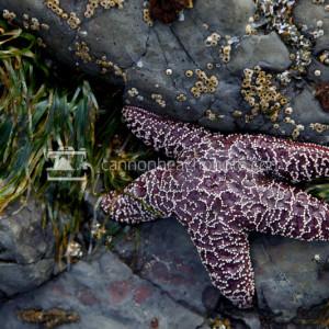 Purple Starfish Macro