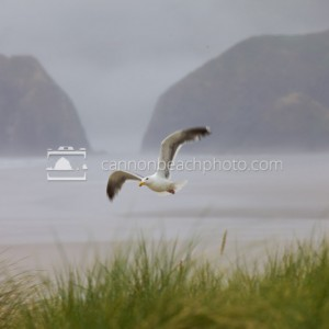 Seagull Flight on a Foggy Day