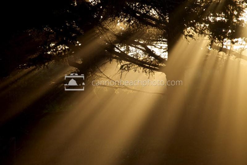 Sun Beams Thru the Coastal Trees