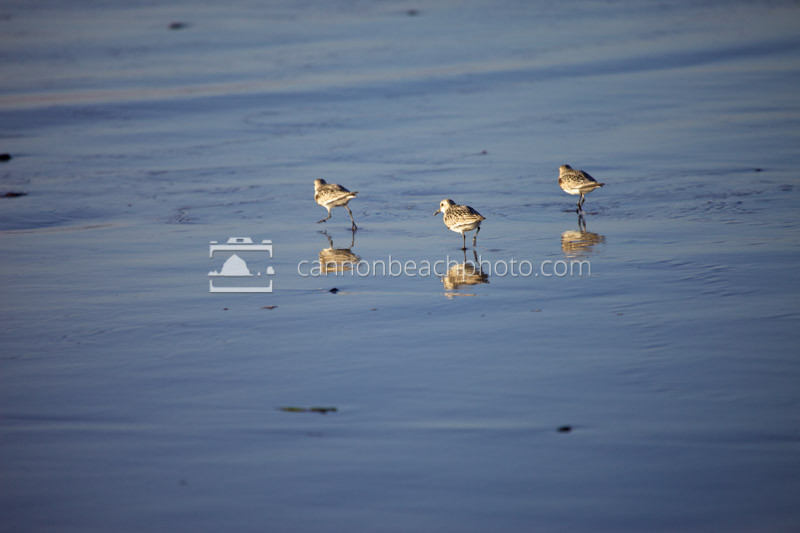 3 Sandpipers on the Water's Edge