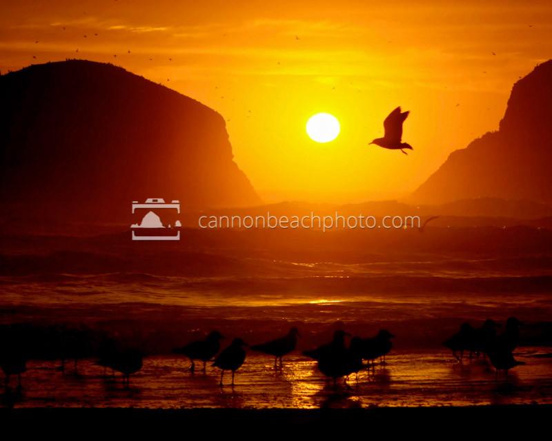 Larus, Seagull Flight at Sunset