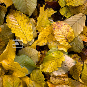 Fall Leaves, Autumn Macro