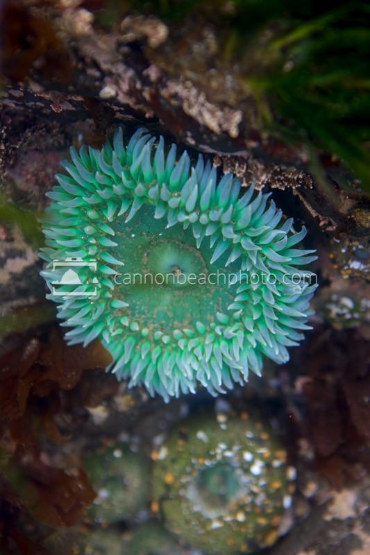 Tide Pool Sea Anemone