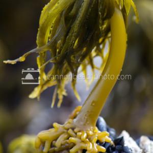 Sea Palm Kelp (Postelsia palmaeformis)