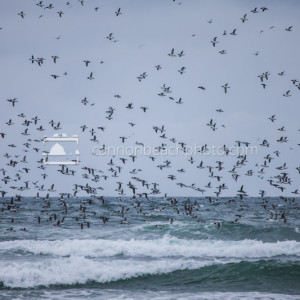 Flight of the Murres