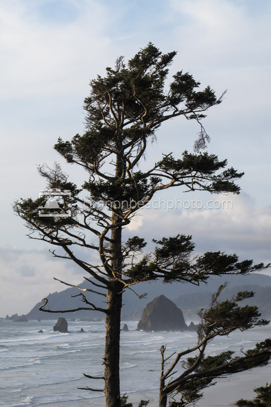 coastal sitka spruce - photo #20