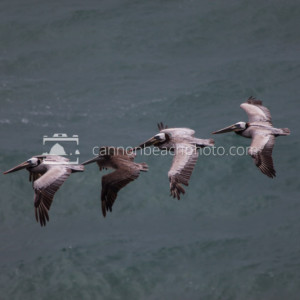 Pacific Pelicans Flight