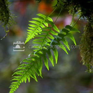 Strands of Licorice Fern, Forest Macro