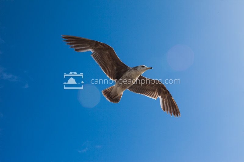 Seagull Flight with Blue Skies