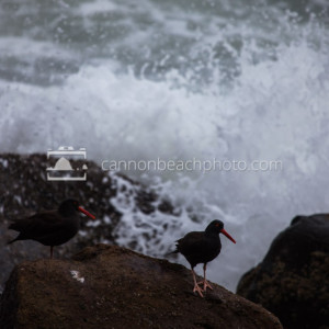 Two Black Oystercatchers