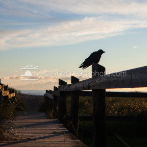 Crow Boardwalk Perch