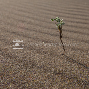 Dune Plant