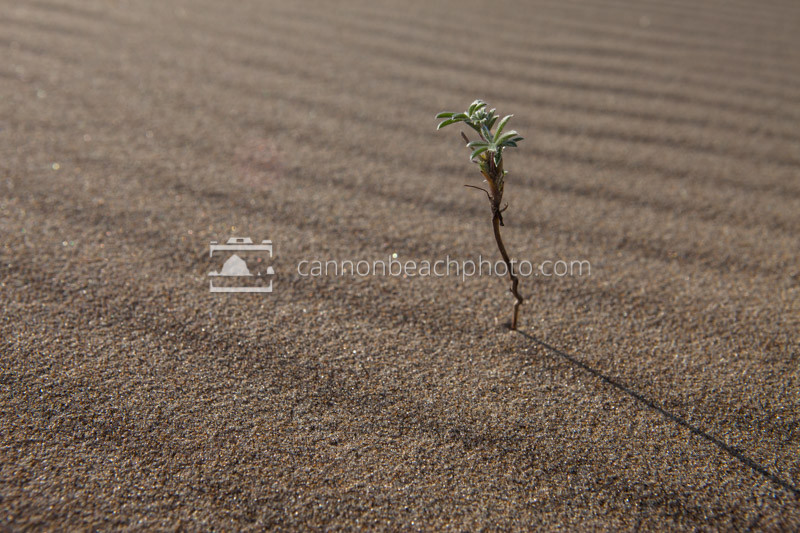 A symbol of hope in a desert land. This intrepid plant springs out of the sand dunes.