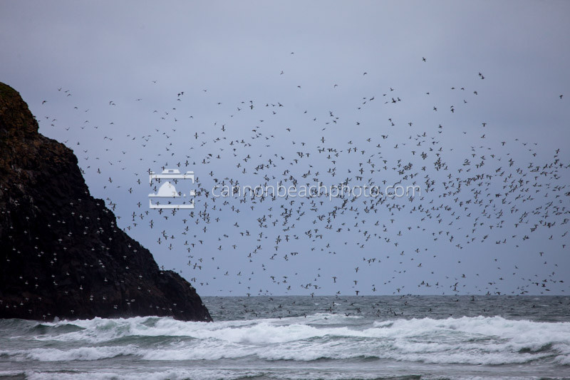 Flock of Murres and Seastack