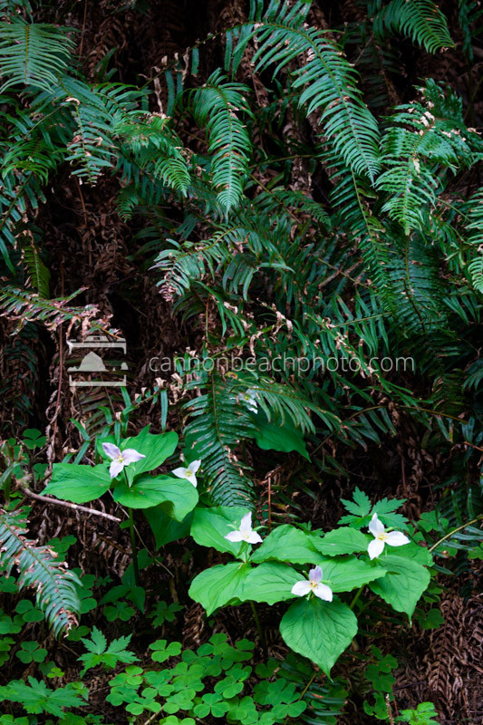 Forest Trillium and Sword Fern