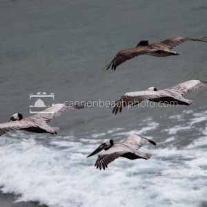 Four Pelicans in Flight