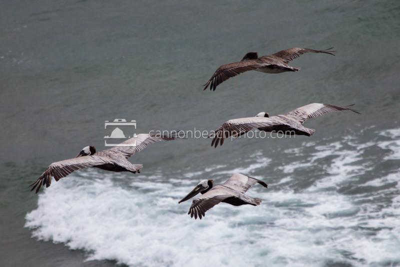 Four Pelicans in Flight