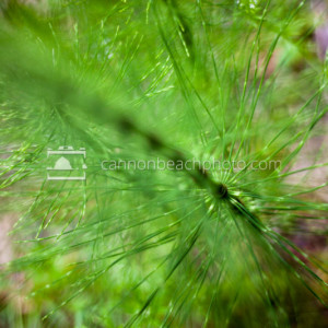 Horsetail Macro Abstract