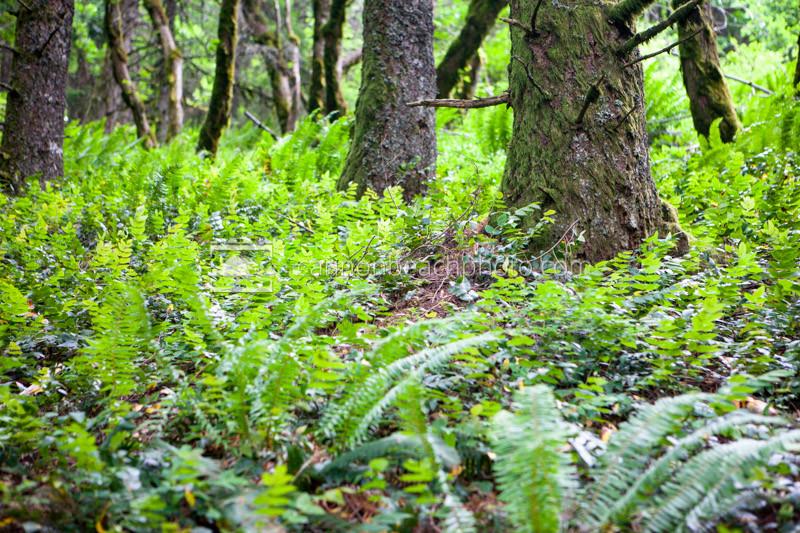 Oregon Grape Ground Cover
