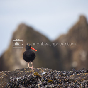 Oyster Catcher Portrait