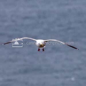 Seagull Flight Front