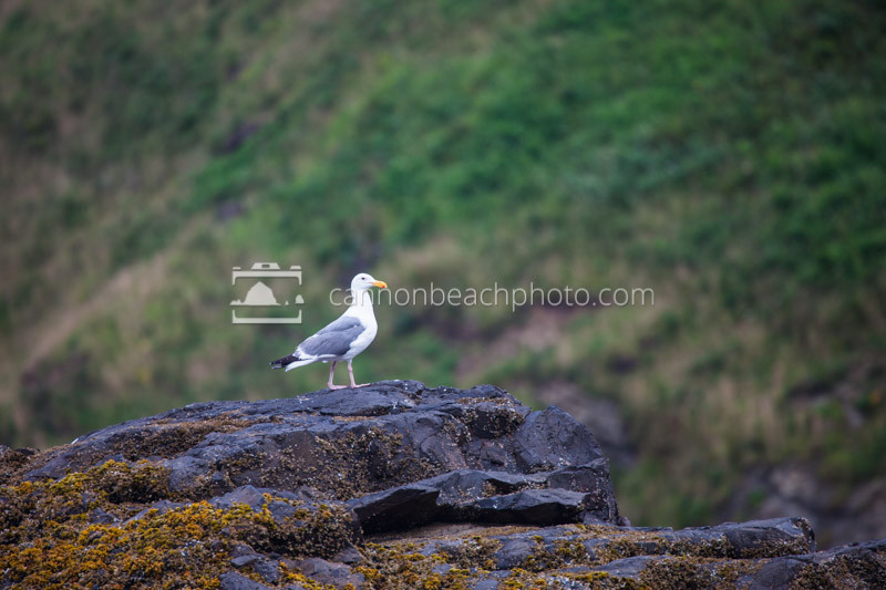 Seagull Perched in Intertidal Rock