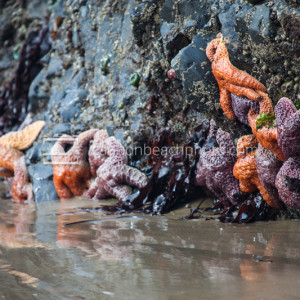 Seastars on Edge of Tidepool