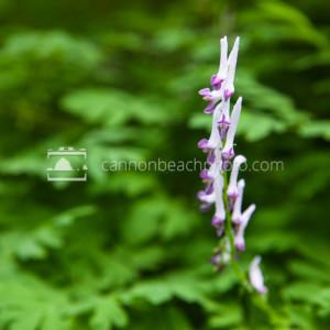 Spring Flowers – Scouler's Corydalis