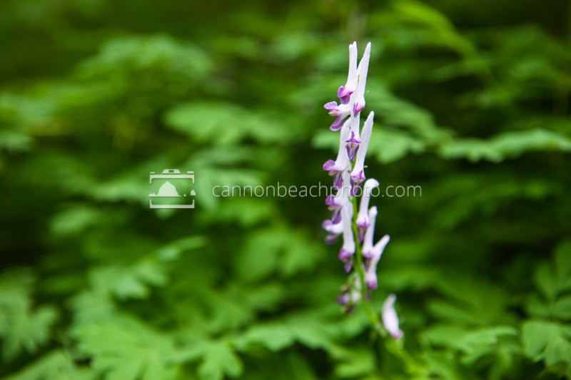 A stock of Scouler's Corydalis (Corydalis scouleri) towers above the canopy of leaves in moist shady forest of Silver Falls State Park.