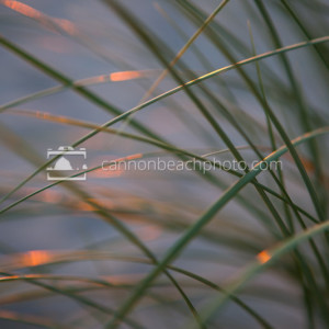Sunset Dune Grass Macro