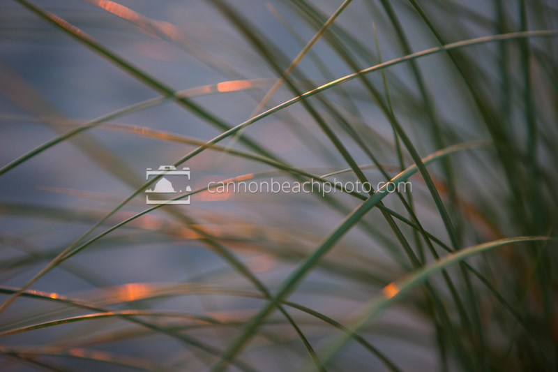 Dune grass reeds ablaze with the final glimmers of sunlight. A beautiful beach detail macro.