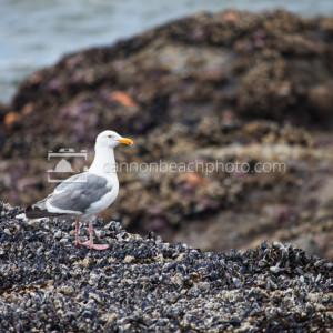 Tidepool Seagull