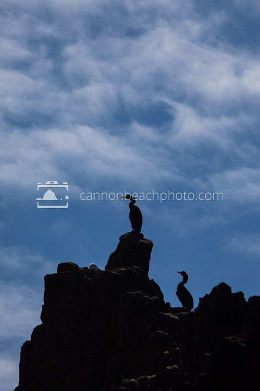 Two pelagic cormorants (Phalacrocorax pelagicus) stand sentry over their nests at Seal Rock on the Oregon Coast.
