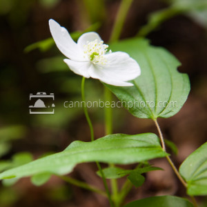 Woodland Anemone – Spring Wildflowers