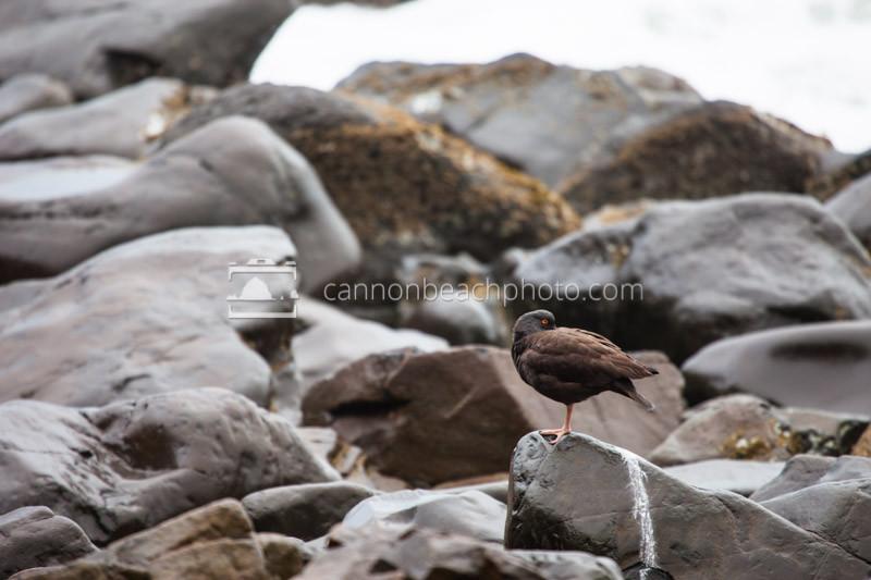 Oyster Catcher Rock Perch