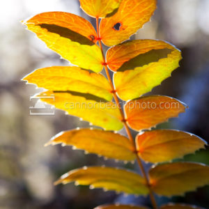 Oregon Grape Backlit