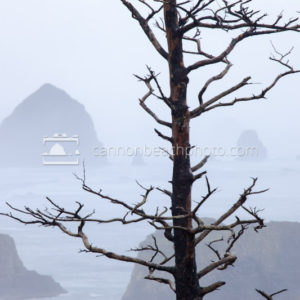 Tree Scrag at Ecola Point